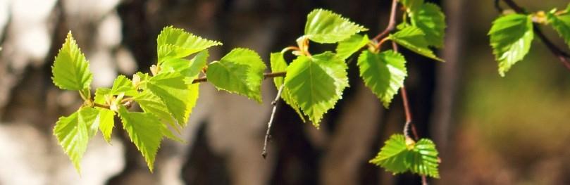Die Blätter der Birke