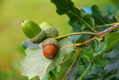 Die Früchre des Eichenbaums