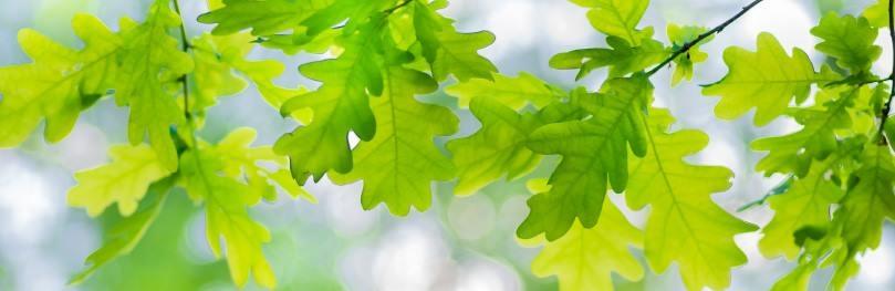 Die Blätter der Eiche