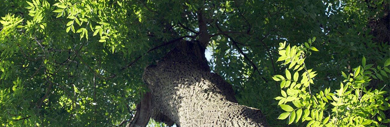 Eschenbaum – COMNATA Esstisch