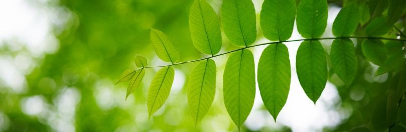 Die Blätter der Esche