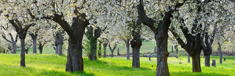 Der Kirschbaum – COMNATA Esstisch