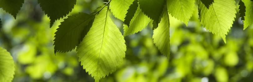 Die Blätter der Ulme