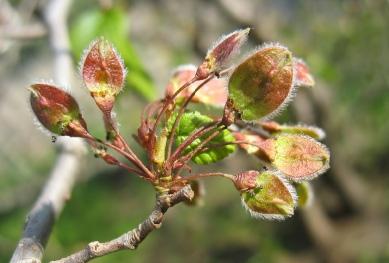 Die Früchte des Ulmenbaumes
